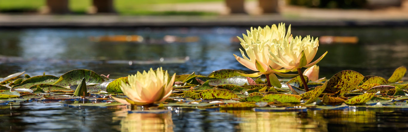Lilly pads in water